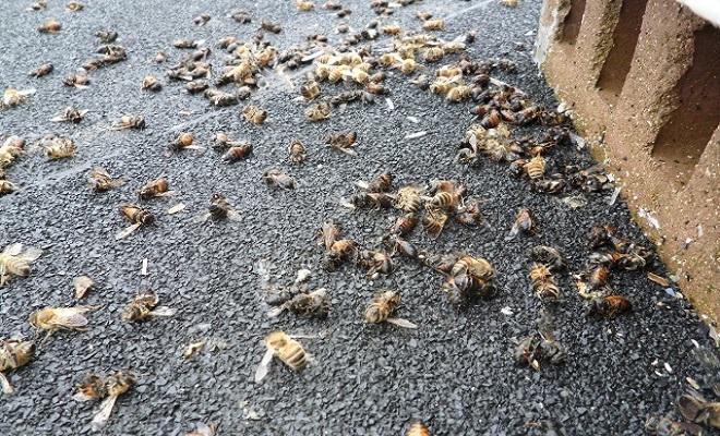 FWEDead-Honey-Bees