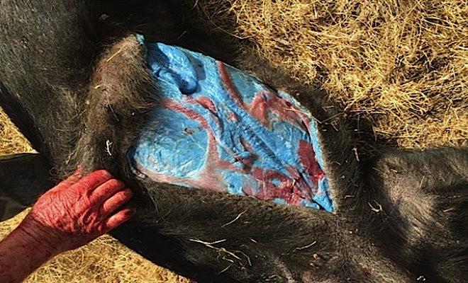 wild pig blue flesh 1